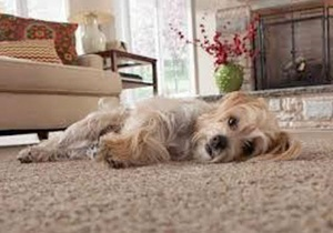 Dog on a SmartStrand carpet